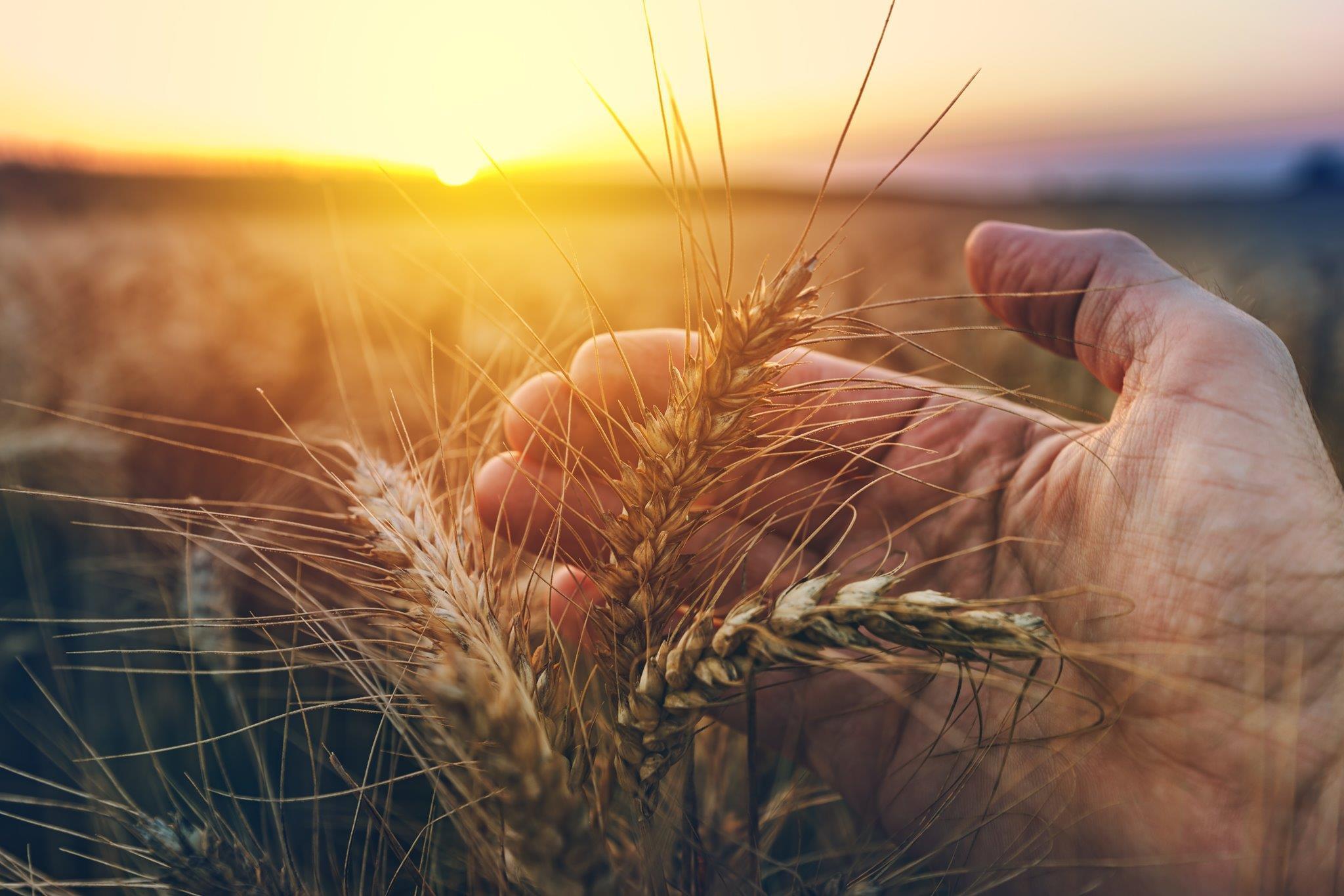 campo di grano dimitria-prodotti-di-madre-terra-ecommerce-vendita online olio-vino-pasta bio