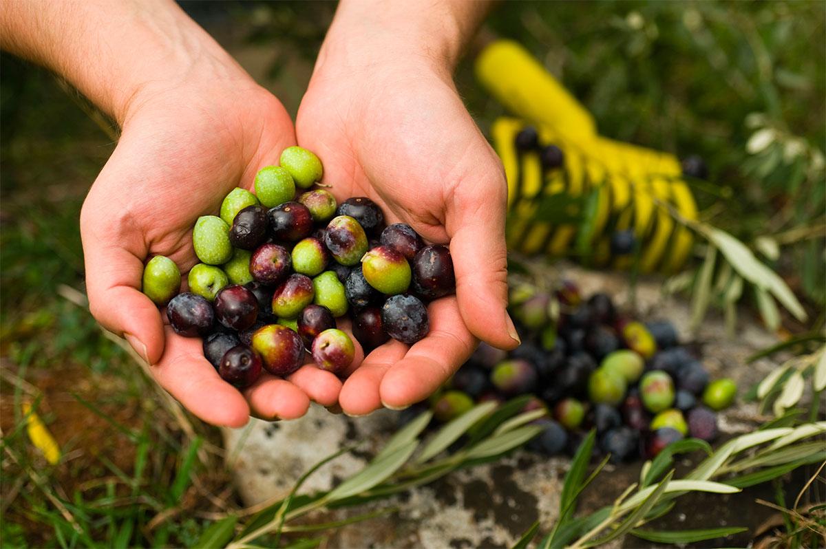 Olive bio - Produzione di pasta biologica artigianale, olio extra vergine di oliva bio e legumi bio - Prodotti da agricoltura biologica a Matera, Gravina in Puglia, Altamura, Basilicata